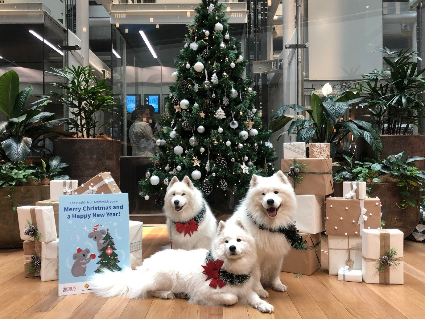 These beautiful Samoyed dogs visited CommBank staff at last Christmas for selfies and snuggles